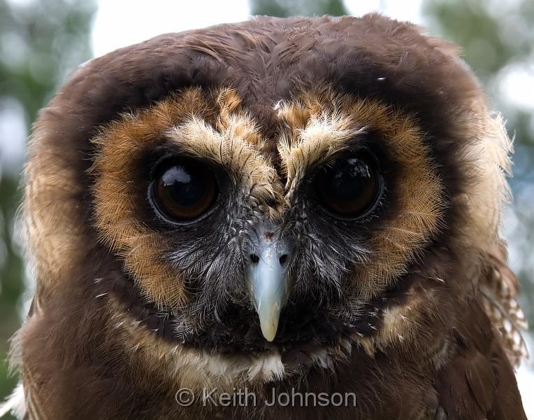 Asian Wood Owl 73